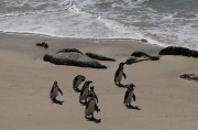 Penguine, Boulders Beach